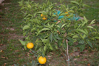 El arbol da sus frutos for Como crecen los arboles para ninos
