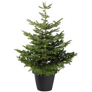 C mo se debe cuidar un rbol natural de navidad cuidados b sicos para - Cuidados planta navidad ...