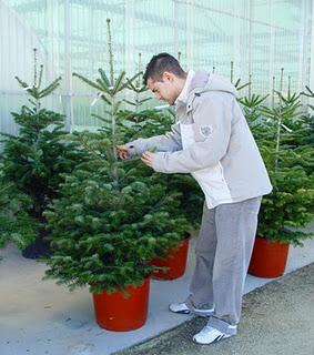 C mo se debe cuidar un rbol natural de navidad - Cuidados planta navidad ...