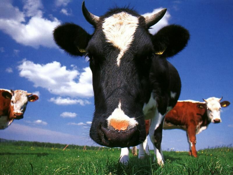 Free Funny Cow