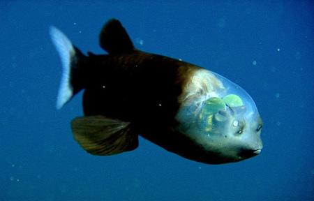 El pez más extraño del mundo: Una posible explicación para su ...