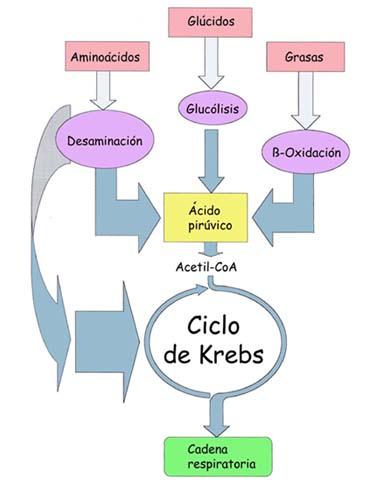 ruta metabolica anabolica y catabolica