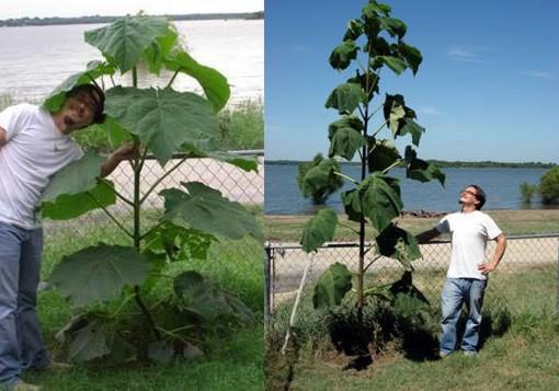 El kiri un rbol que podr a purificar un suelo inf rtil for Arboles de hoja perenne que crece rapido
