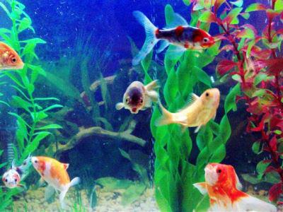 Feng shui para acuarios for Peces para acuarios pequenos