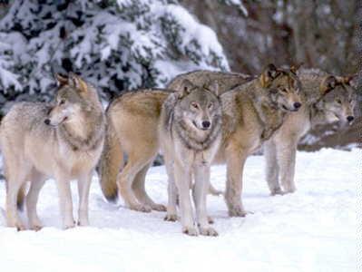 El Angel de la guarda Slavc-lobo-recorrido-paises-meses-quince-curiosidades-animales_6_1166467