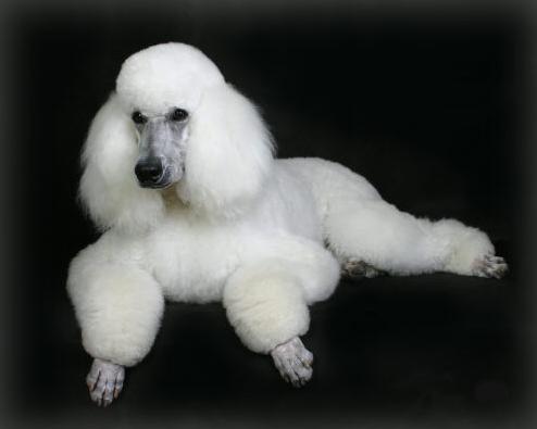 amigables-perros-raza-french- ...