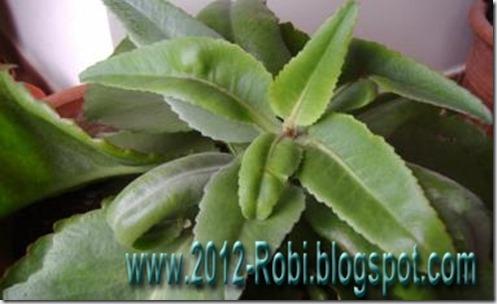 Kalanchoe la planta que cura el c ncer for Kalanchoe cura