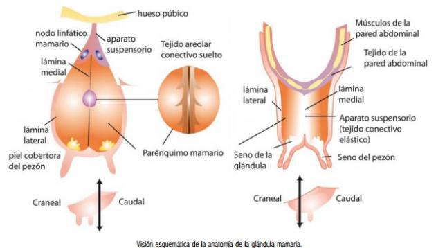 Anatomía de la ubre y fisiología del ordeño