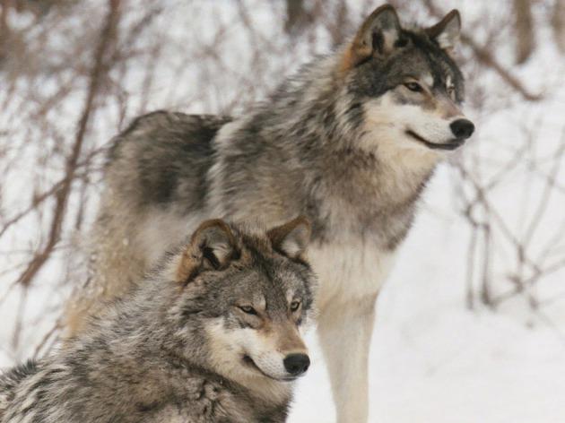 El Lobo En Peligro De Extinción En El Mundo Junto Con Otras Especies