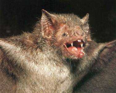 Murcilago Vampiro - Bat Facts and Information